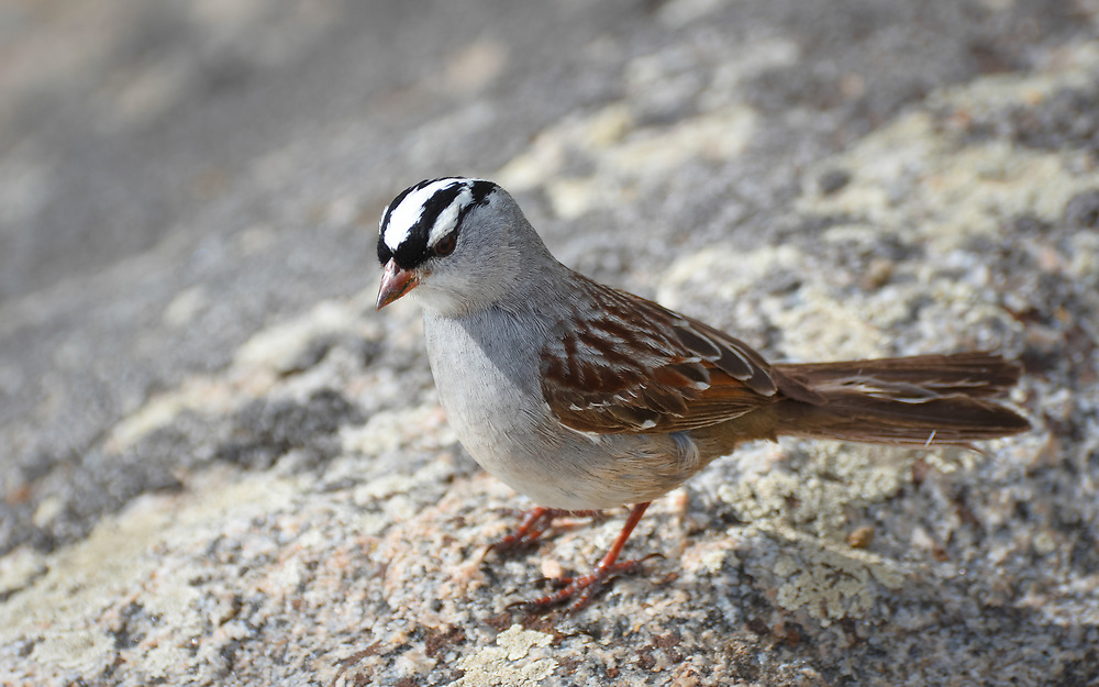 I saw this beautiful White Crowned Sparrow while hiking on Bierstadt.<br />