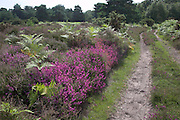 Track over heathland with heather and bracken plants, Hollesley Common, Suffolk, England