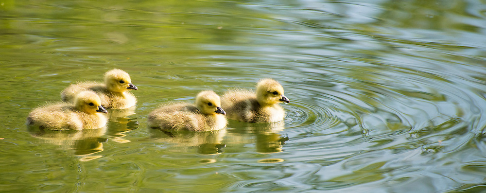 Canada geese young chick goslings swimming in Idaho Lake.