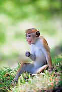 Toque macaque (Macaca sinica) in Anuradhapura, Sri Lanka