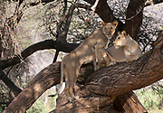 Tree-climbing lions in Samburu National Reserve, Kenya.