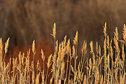 Muted colors of bulrush during winter at the Bosque del Apache National Wildlife Refuge in San Antonio, New Mexico. The refuge restored the original Rio Grande bottomlands habitat with native species.