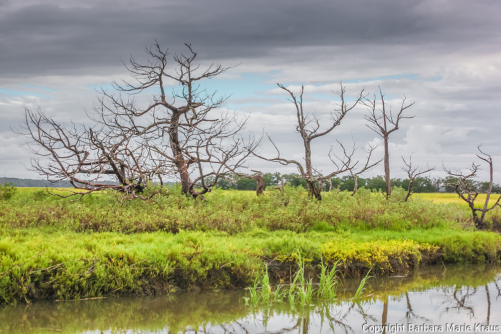 Dead trees stand watch over the edge of a creek in a coastal Salt Marsh on the Southern Atlantic coast.