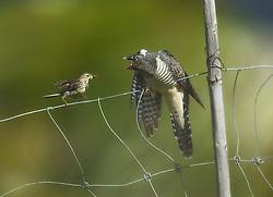 Young Eurasian cuckoo (Cuculus canorus) in Valdres, Norway