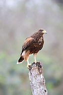 Harris's Hawk (Parabuteo unicinctus)<br /> TEXAS: Hidalgo Co.<br /> Las Colmenas Ranch<br /> 14-March-2006<br /> J.C. Abbott #2248