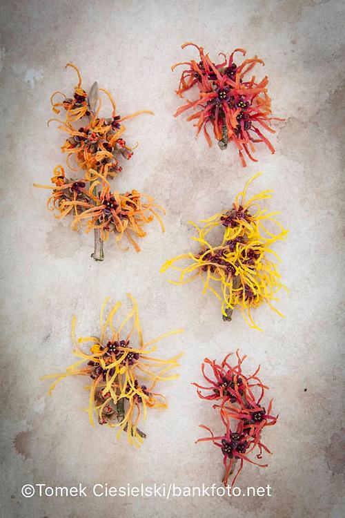 Left column: Hamamelis x intermedia `Aphrodite' , `Aurora`, Right column: Hamamelis x intermedia `Rubin`, `Orange Peel`, `Firecracker`