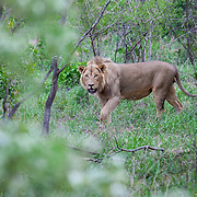 Lion in Punda Maria. Kruger National Park. South Africa. Organization for Tropical Studies Trip 2009.