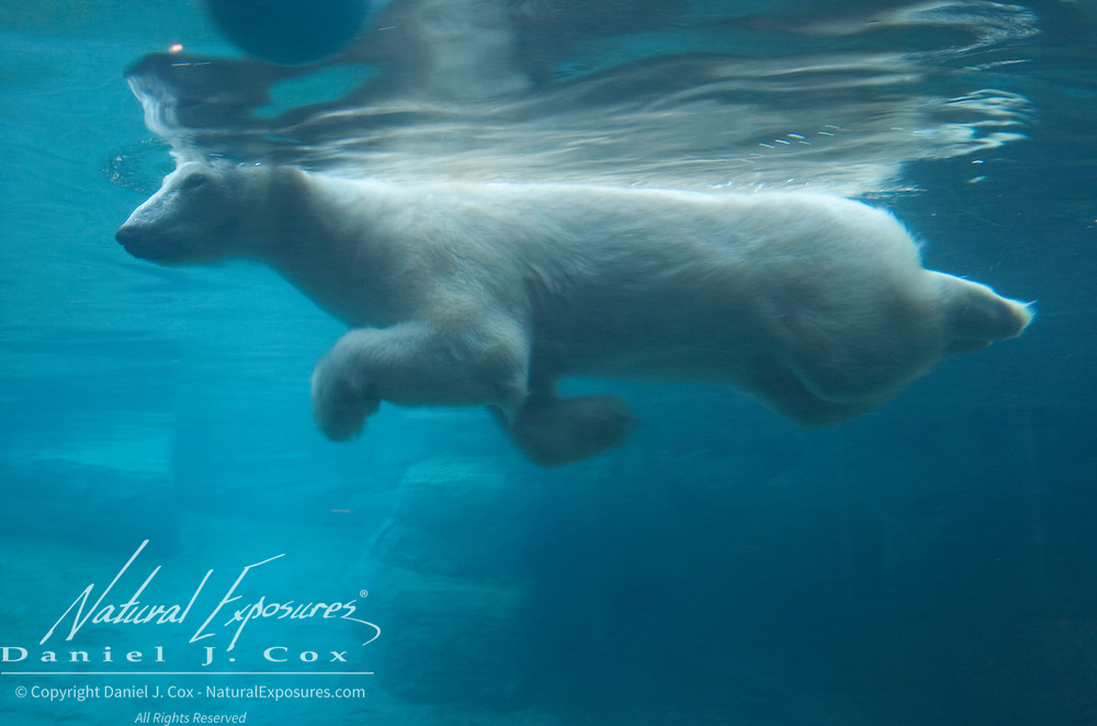 Polar Bear swimming underwater at the San Diego Zoo. Captive Animal