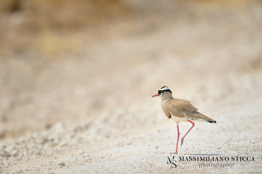 The Crowned Lapwing (Vanellus coronatus), or Crowned Plover, is a bird of the lapwing subfamily that occurs contiguously from the Red Sea coast of Somalia to southern and southwestern Africa. It is an adaptable and numerous species, with bold and noisy habits. It is related to the more localized Black-winged and Senegal Lapwings, with which it shares some plumage characteristics.