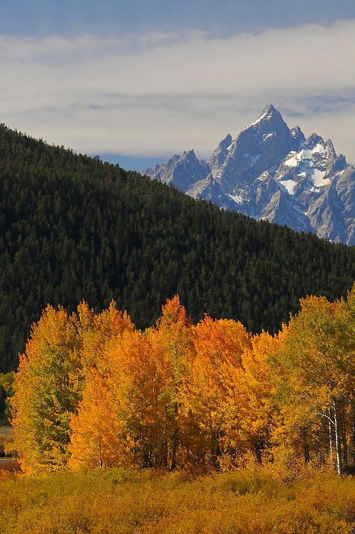 Aspens, at the height of color, highlight three peaks of the Cathedral Group (Mount Owen, Grand Teton and Teewinot Mountain) in Grand Teton National Park.