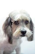 Mixed-breed Dog after a haircut