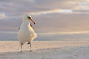 Layson Albrotross stands on beach at sunrise with the breeze ruffling it's feathers.
