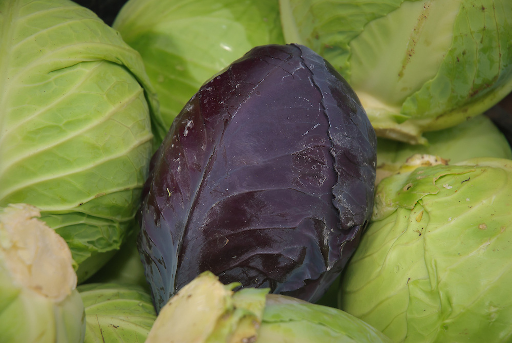 A single red cabbage with green cabbages Agriculture and Organic food in Cumbria