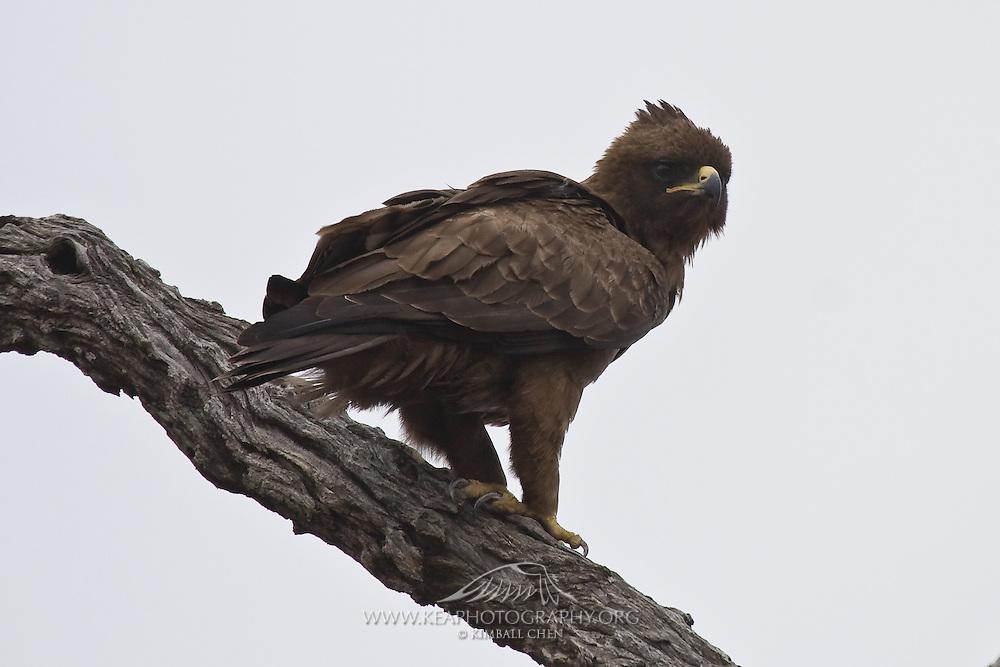 Wahlberg's Eagle, Kruger, South Africa
