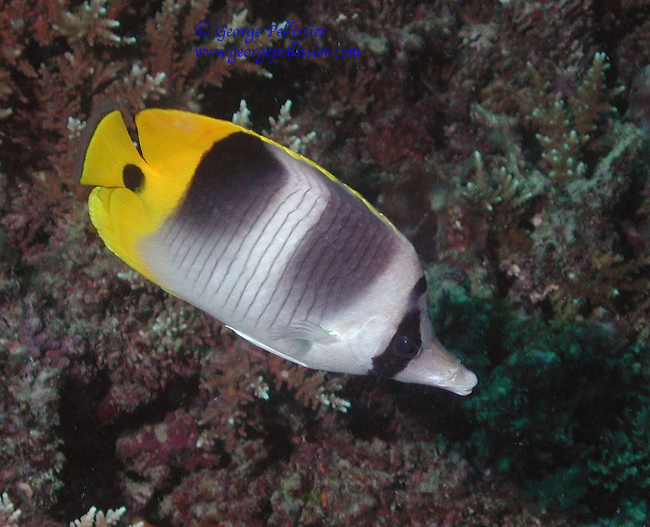A Double Saddle Butterfly Fish on the Great Barrier Reef, Australia.