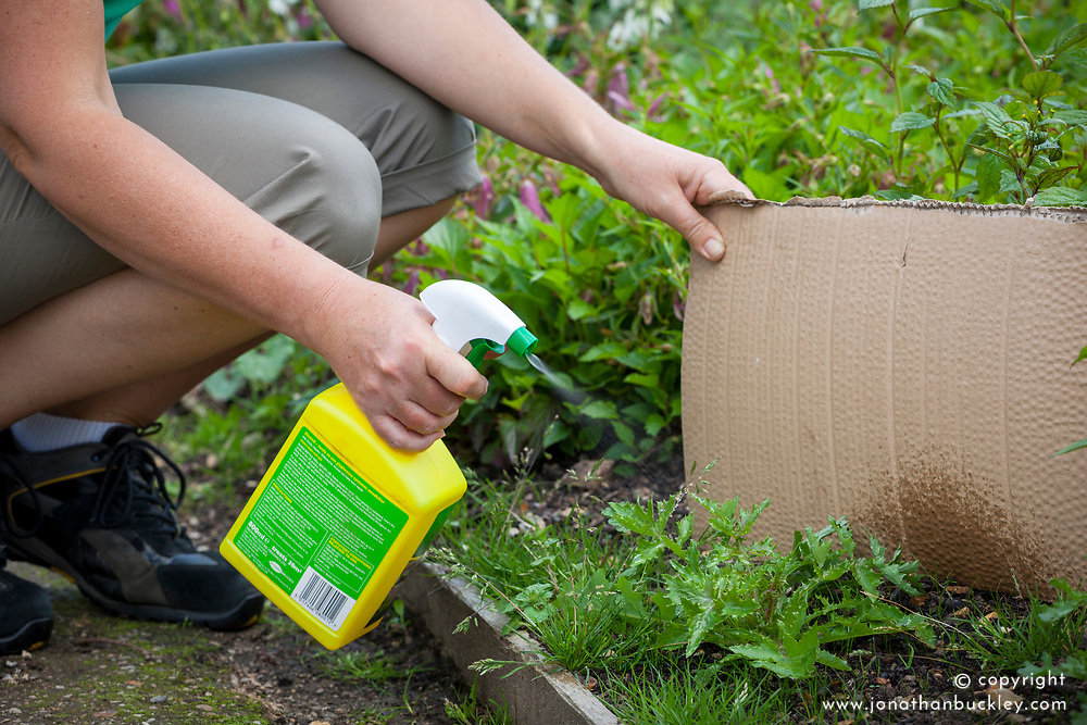 Spraying bindweed in a border with weedkiller - using cardboard to protect other plants from overspray.