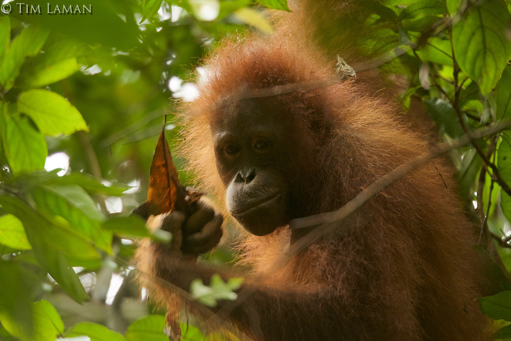 Young female Bornean Orangutan feeding on ants from an ant nest among dead leaves.<br />