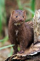 Wild mink