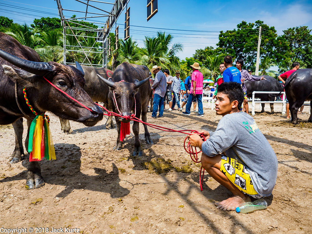 23 OCTOBER 2018 - CHONBURI, CHONBURI, THAILAND:  A man holds his water buffalo before the races in Chonburi. Contestants race water buffalo about 100 meters down a muddy straight away. The buffalo races in Chonburi first took place in 1912 for Thai King Rama VI. Now the races have evolved into a festival that marks the end of Buddhist Lent and is held on the first full moon of the 11th lunar month (either October or November). Thousands of people come to Chonburi, about 90 minutes from Bangkok, for the races and carnival midway.  PHOTO BY JACK KURTZ