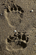 USA, Vereinigte Staaten Von Amerika: Grizzlybär (Ursus arctos horribilis), Fußabdrücke am Strand vom See Naknek, Katmai Nationalpark, Alaska | USA: United States Of America: Brown bear (Ursus arctos horribilis), footprints on the beach of Naknek Lake, Katmai National Park, Alaska |