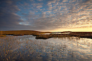 Bogbean Menyanthes trifoliata, growing in pool on bog peatland at dawn, Flow Country, Scotland, June