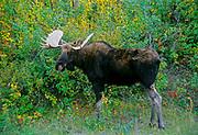 Moose (Alces alces) <br />Elk Island National Park<br />Alberta<br />Canada