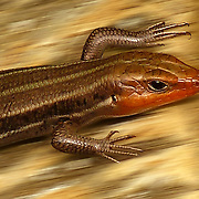 The broad-headed skink or Plestiodon laticeps is species of lizard and is found in North America.