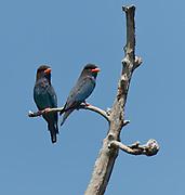Oriental Dollarbird (Eurystomus orientalis) from Sepilok, Sabah, Borneo.