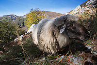 Domestic sheep (Ovis aries), wide angle close-up, on a grassy slope in Mehedinti Plateau Geopark, Geoparcul Platoul Mehedinți, Romania.