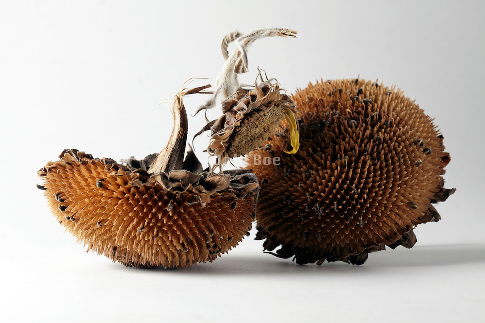 ripe sunflower heads with some seeds left