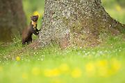 Pine marten (Martes martes) leaning against tree, Ardnamurchan, Scotland.