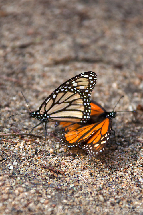 USA, California, Monterey. Mating Monarch Butterflies at Monarch Grove Butterfly Sanctuary.