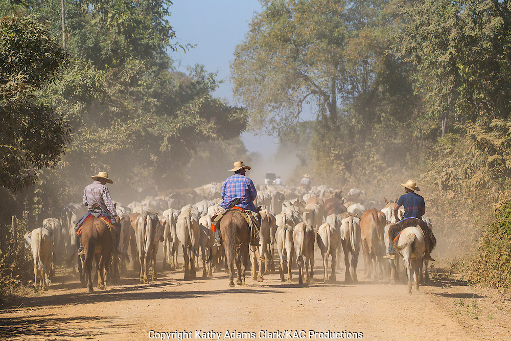 cattle drive, cowboys, pantanal, brazil, ranching