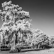 Grandfather Cypress - Caddo Lake, Texas - Infrared Black & White