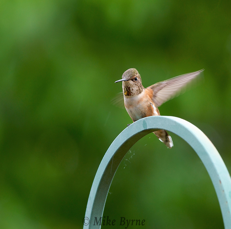 Rufous Hummingbird: Female.  (Selasphorus rufus) Piercy Rd. Courtenay, B.C. Canada.  (Photographer: Isobel Springett)