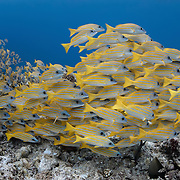 Large school of bluestripe snapper (Lutjanus kasmira) swimming along the top of a shallow reef in Palau