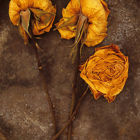 Three squashed dried roses once yellow and now brown lying with their stems on tarnished metal plate