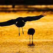 A sandhill crane is silhouetted as it lands in sunrise reflected in water.