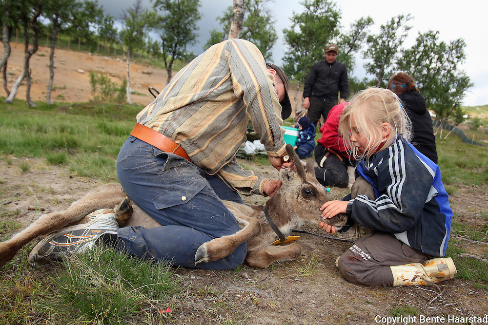 Young reindeers born in May are given the owners mark during summer, cut with a knife.