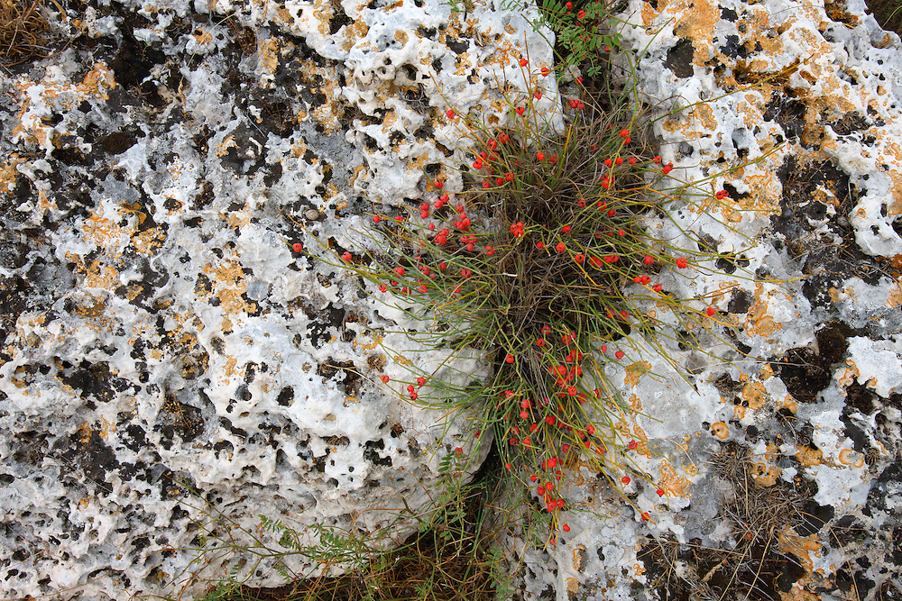 Rock vegetation, Bagerova Steppe, Kerch Peninsula, Crimea, Ukraine