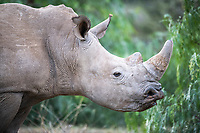 White Rhino Flehman Lipcurling, Mount Camdeboo, Eastern Cape, South Africa
