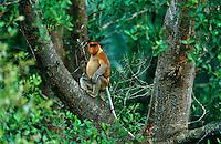 Proboscis Monkey (Nasalis larvatus) adult male..Kinabatangan Wildlife Sanctuary, Sabah, Malaysia, Borneo.