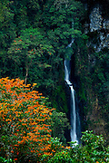 Costa Rica, Orosi Valley, Salto de la Novia (Leap of the Bride) Cascades, Orange Flowering Poro Tree