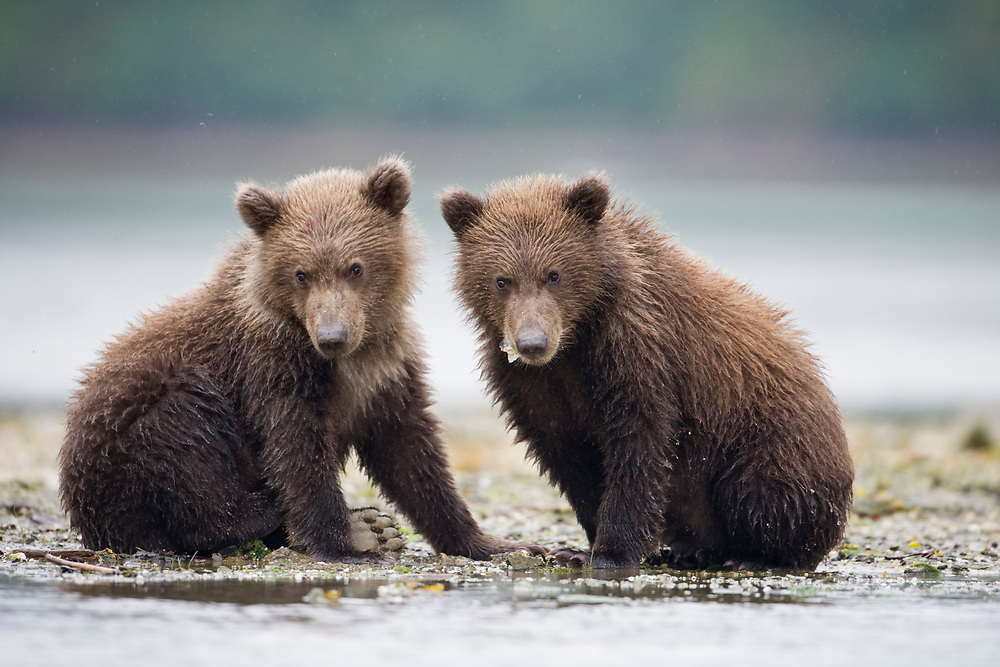 USA, Alaska, Katmai National Park, Geographic Harbor, Brown Bear cubs (Ursus arctos) along stream on autumn afternoon