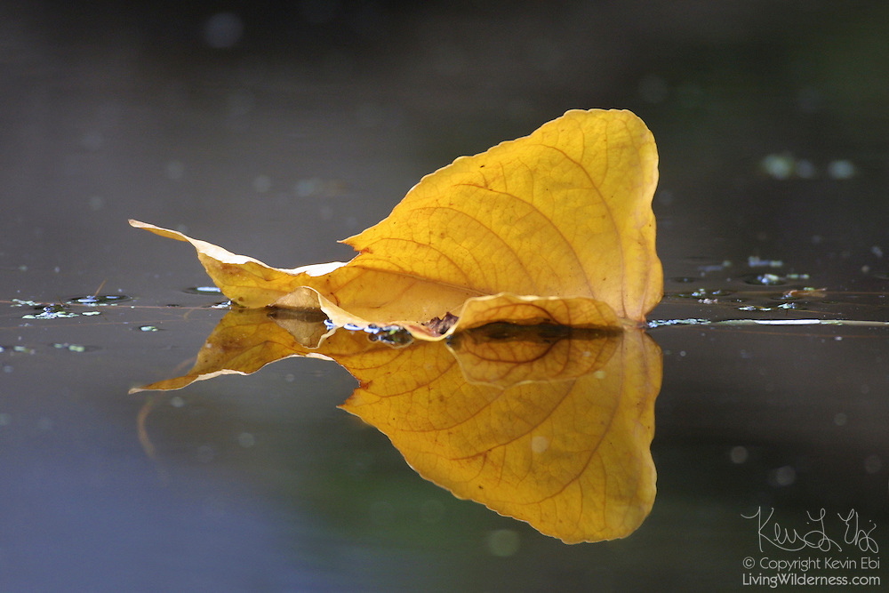 Fall color is represented by a single yellow leaf, floating off Foster Island in the Seattle Arboretum.