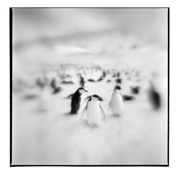 Antarctica, Deception Island, Blurred black and white image of Chinstrap Penguins standing on snow slope