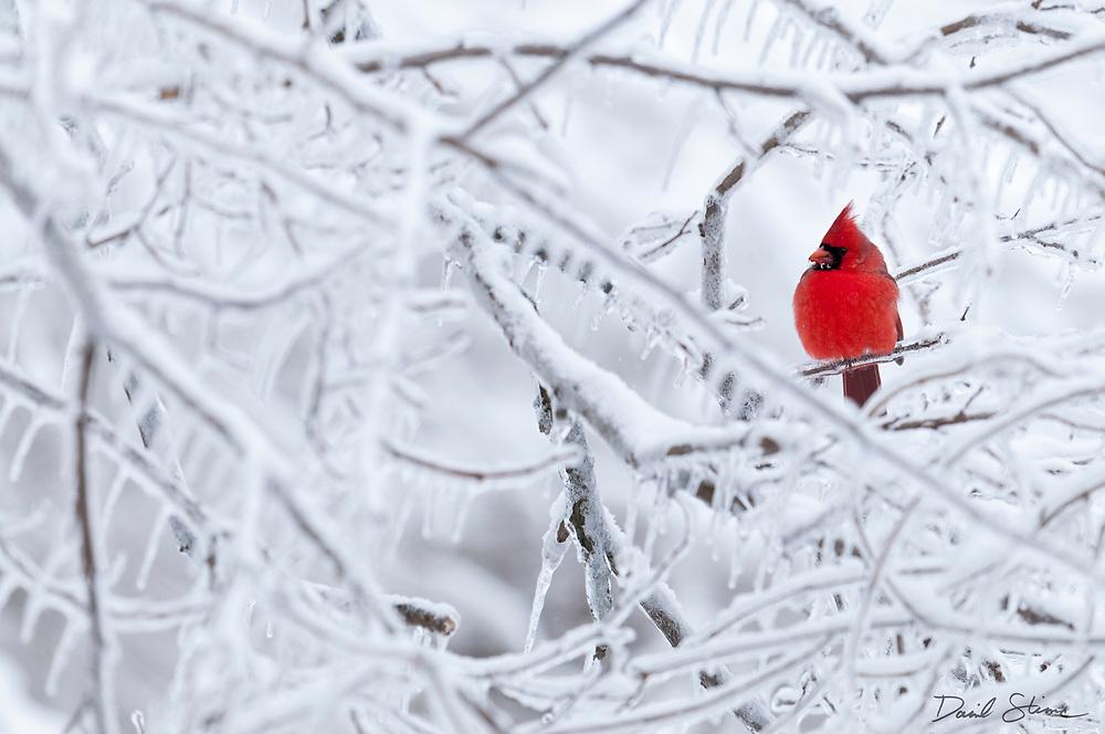 Northern Cardinal; Cardinalis cardinalis; male, Metamora, Michigan