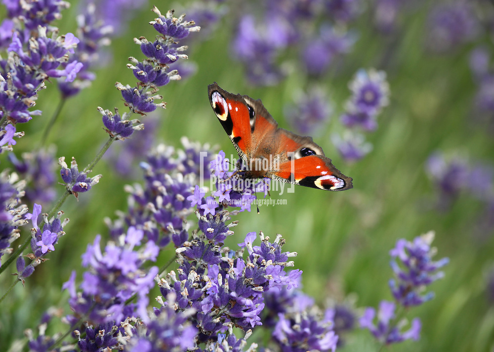 © Rob Arnold.  23/07/2014. Hampshire, UK. A Peacock butterfly on Lavender flowers in bloom on Summerdown farm estate near Malshanger in Hampshire. The lavender will be harvested and distilled into lavender oil that is a popular aromatherapy oil. The oil can be purchased from Summerdown Farms Ltd - www.summerdownmint.com Photo credit : Rob Arnold