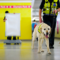Wombat, a British Transport Police yellow labrador searches for explosives with handler Sgt. Wanless at Stratford Station during the 2012 London Summer Olympics.