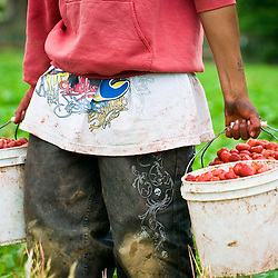 Strawberries on  George Hoffman's farm were about 19 days late this year, but is turning out to still be plentiful, even though a third of the crop is a loss as pickers worked the field Tuesday, June 17, 2008 <br /> (The Columbian/ N. Scott Trimble)